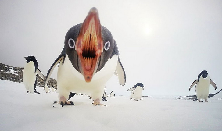 kogda-pingviny-atakuyut