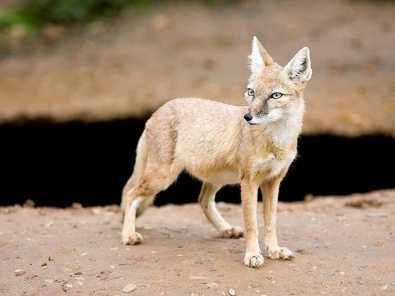 Самая маленькая лисица - корсак