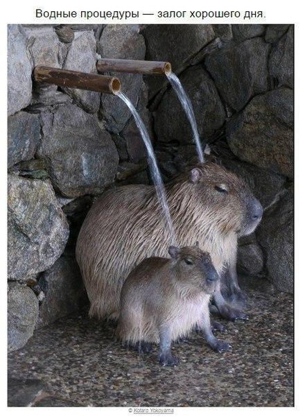 kapibara-1