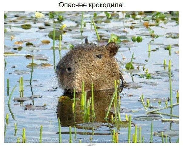 kapibara-4