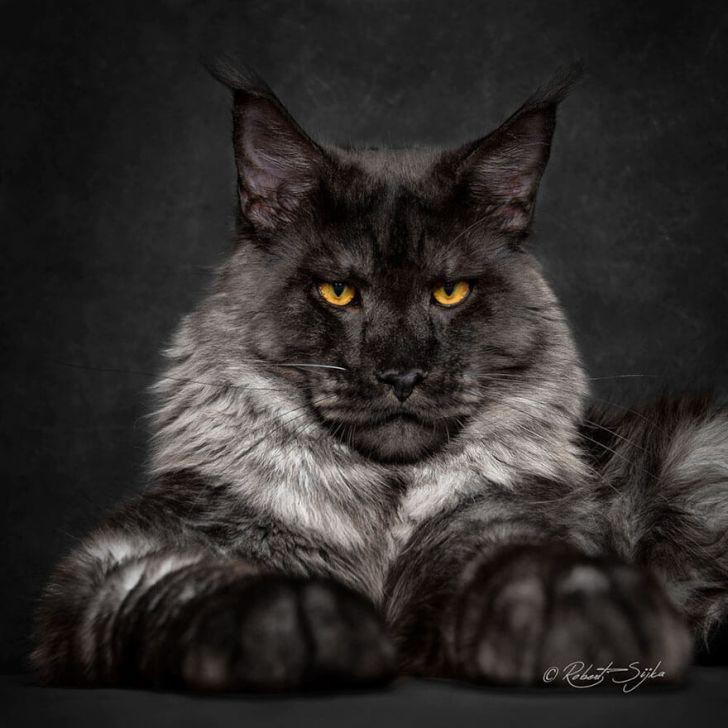 Фотограф запечатлел магическую красоту мейн-кунов, самых мистических котов в мире