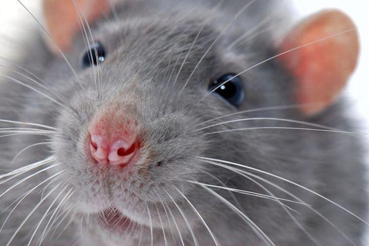 Удивительный случай о крысе, которая пришла на помощь!