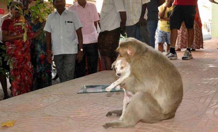 Индийская обезьянка усыновила щенка и теперь заботится о нем, как настоящая Мать