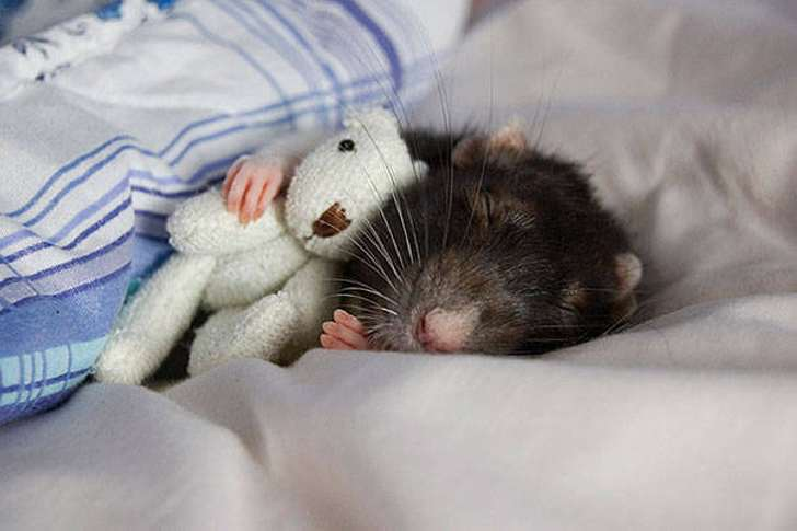 Ми-ми-ми-милейшая фотосессия, после которой, - ручаюсь, вы полюбите крыс!