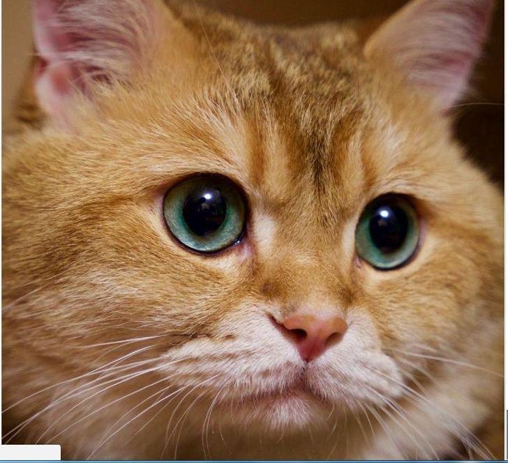 Хосико — Кот в сапогах из «Шрека»