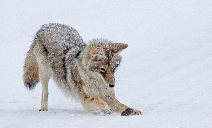 Удивительные факты о койотах