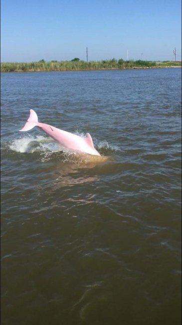 Ему удалось запечатлеть редкого розового дельфина