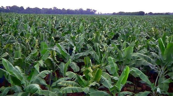 Бананы - от плантации до супермаркета