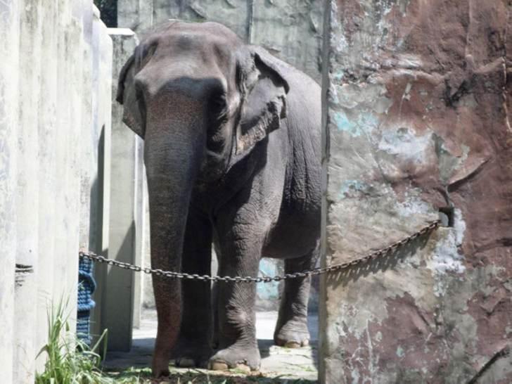 История самого печального в мире слона…