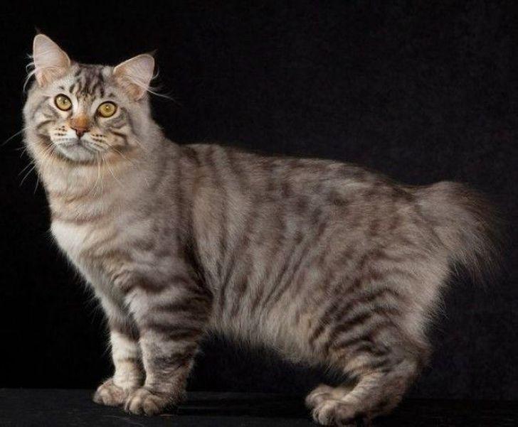 5 модных и дорогих пород кошек, которые лучше не покупать