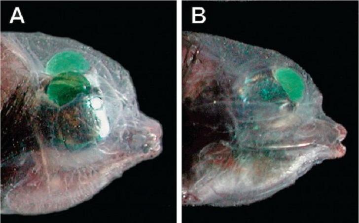 Зачем этой рыбе прозрачная голова?