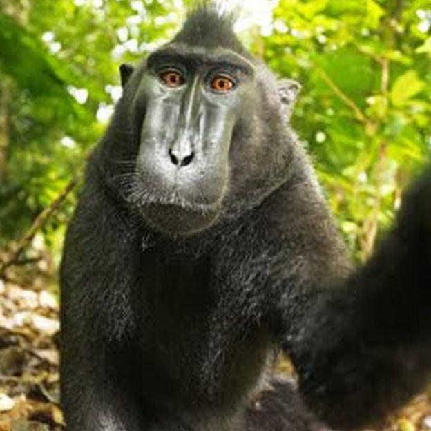 Эта симпатичная обезьянка разрушила жизнь и разорила британского фотографа