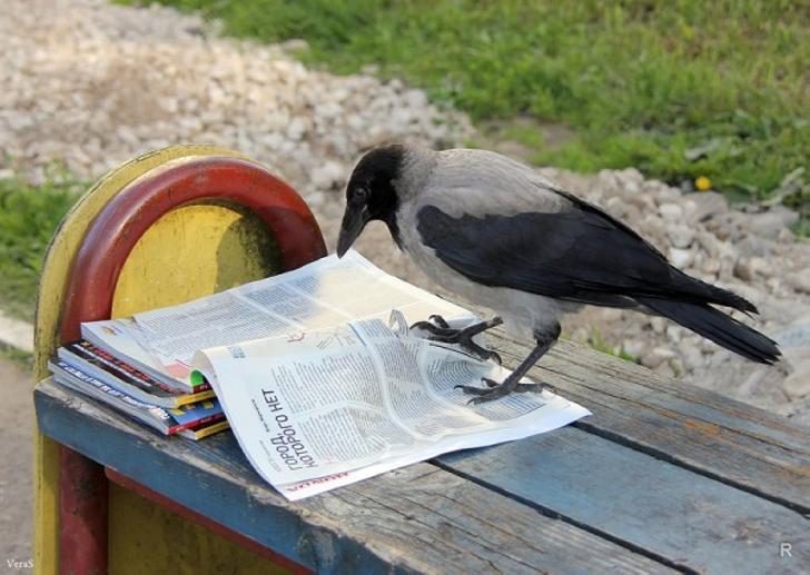 Наблюдения ученых: вороны планируют дела не хуже людей
