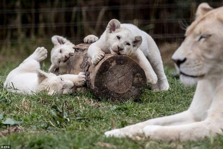 Детеныши белого льва забавно играют вместе со своими родителями