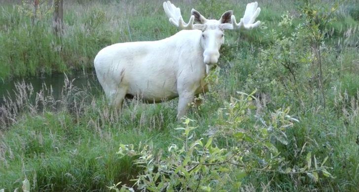 Белый лось - не сказка