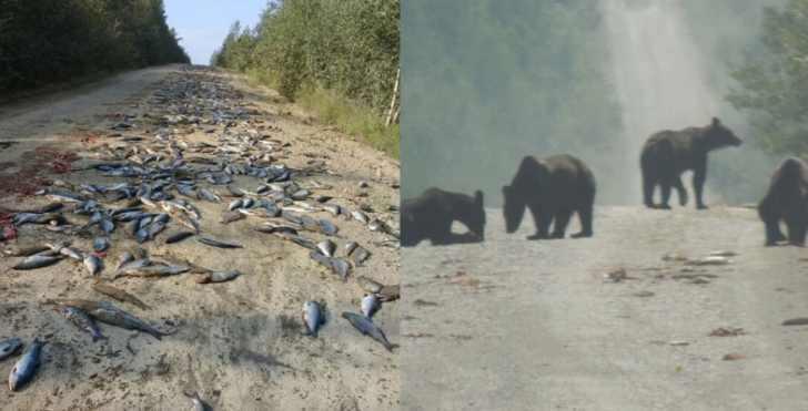 Самый лучший день для медведей живущих вблизи Николаевска-на-Амуре