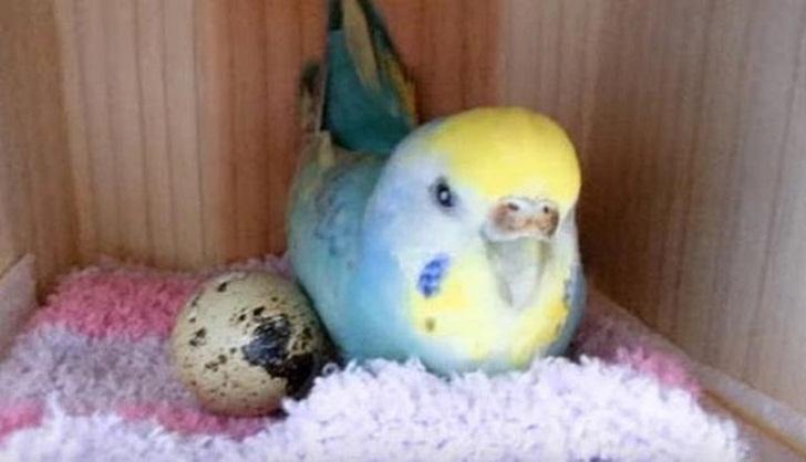 Малышка перепёлка - дочь попугая