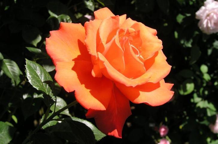 Живые розы - Благодаря этой хитрости, подаренный вам букет останется с вами на всю жизнь...