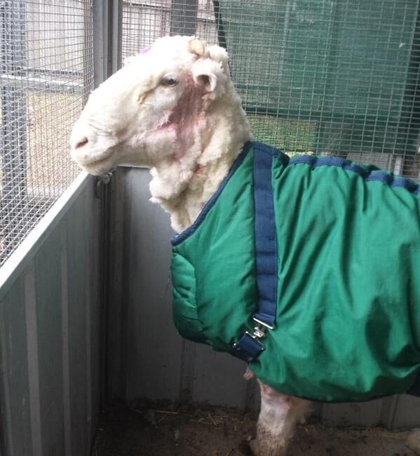 Сбежавшая овца 5 лет жила на воле и вот так обросла!