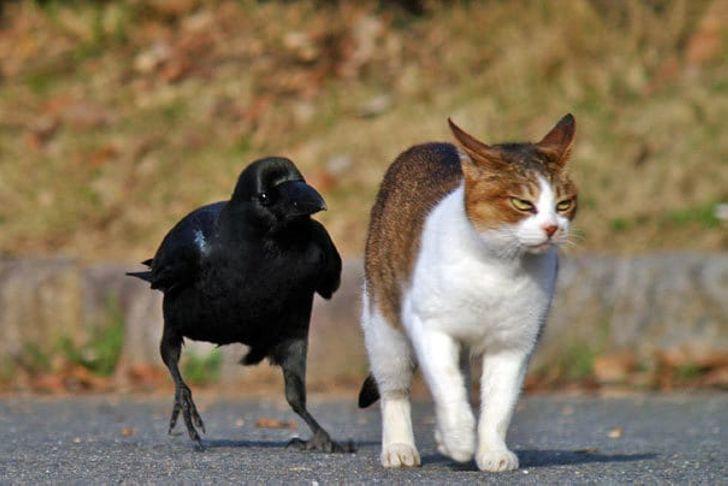 30 доказательств того, что вороны — самые наглые птицы на свете