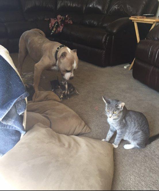 Собачье счастье: питбулю доверили воспитывать котят