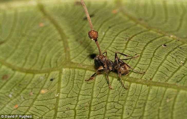 Потрясающий и невероятный Гриб-кукловод, превращающий муравьёв в зомби