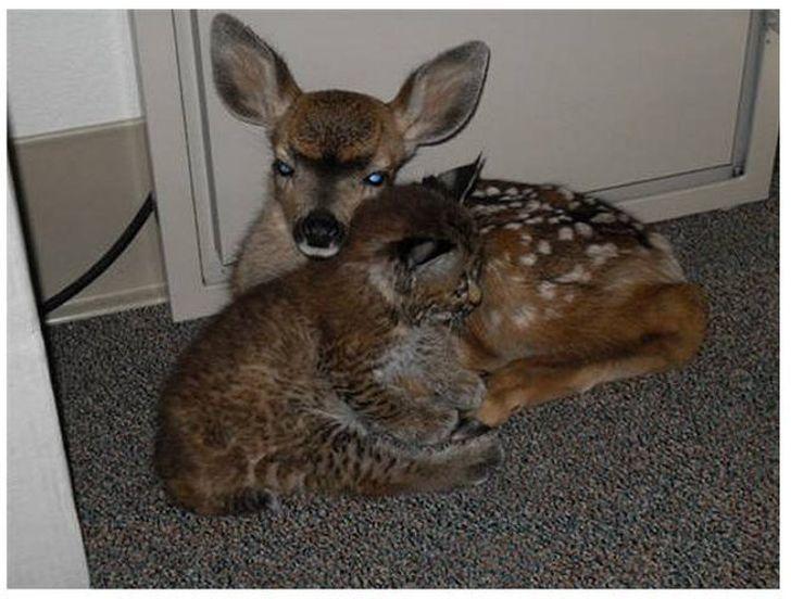 Как живут рысь и оленёнок, спасённые во время лесного пожара